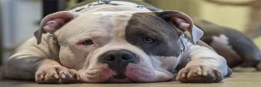 How Pit Bulls Are Good Dogs